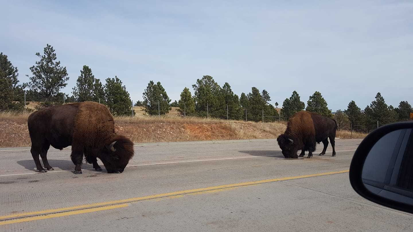 Sharing the road with these gentle giants, Custer SD